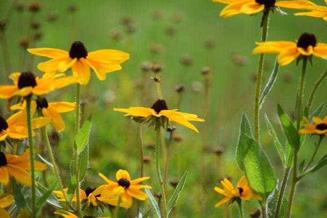 Black-eyed Susan flowers in bloom