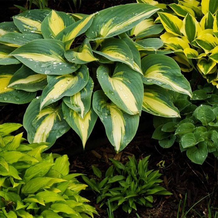 Hosta shrub shade garden plants multi colored leaf plants