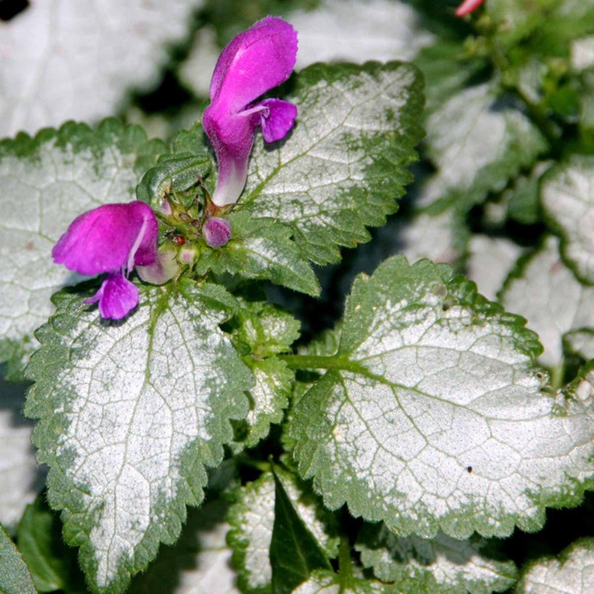 Lamium Shade Garden Flower multi colored leaf plants