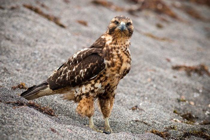Galapagos hawk (Buteo galapagoensis)