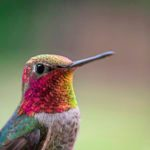 8 Tips to Take Breathtaking Hummingbird Photos