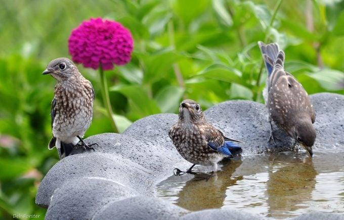 Bluebirds drink from a birdbath
