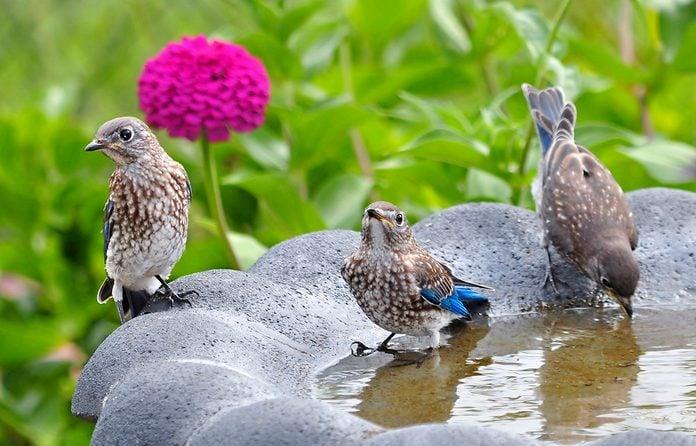 Young bluebirds at birdbath