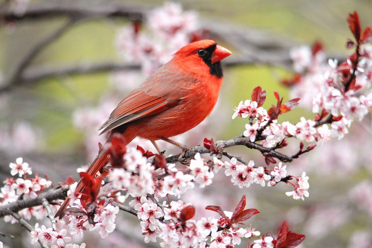 A male cardinal sits on the branch of a plum tree covered in pink blooms.