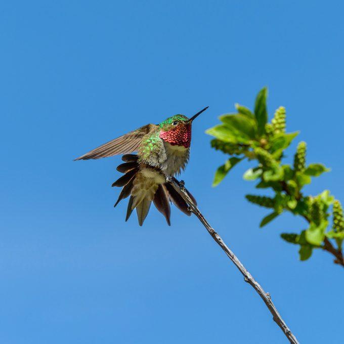 Broad-tailed hummingbird sits on a shrub