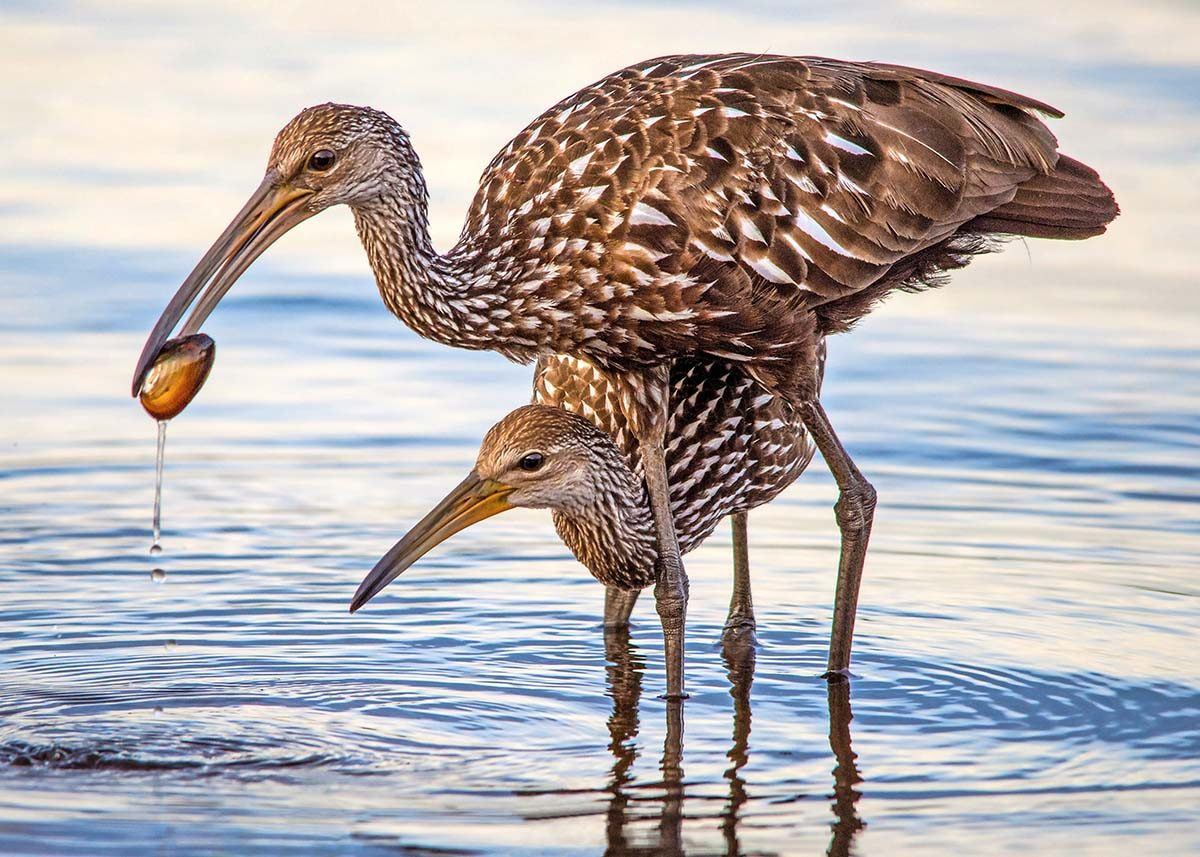 Limpkin parent and young