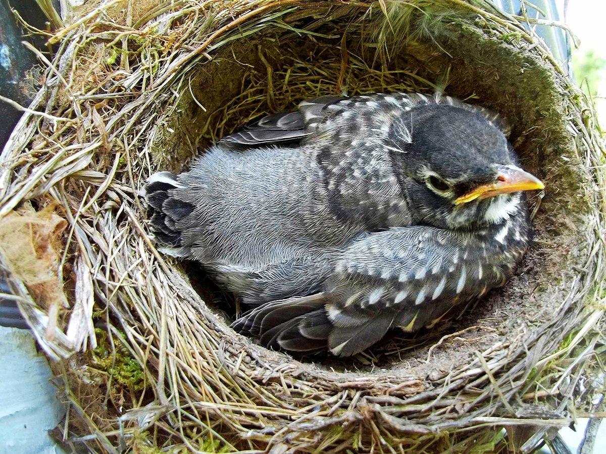 Nestling robin in a nest