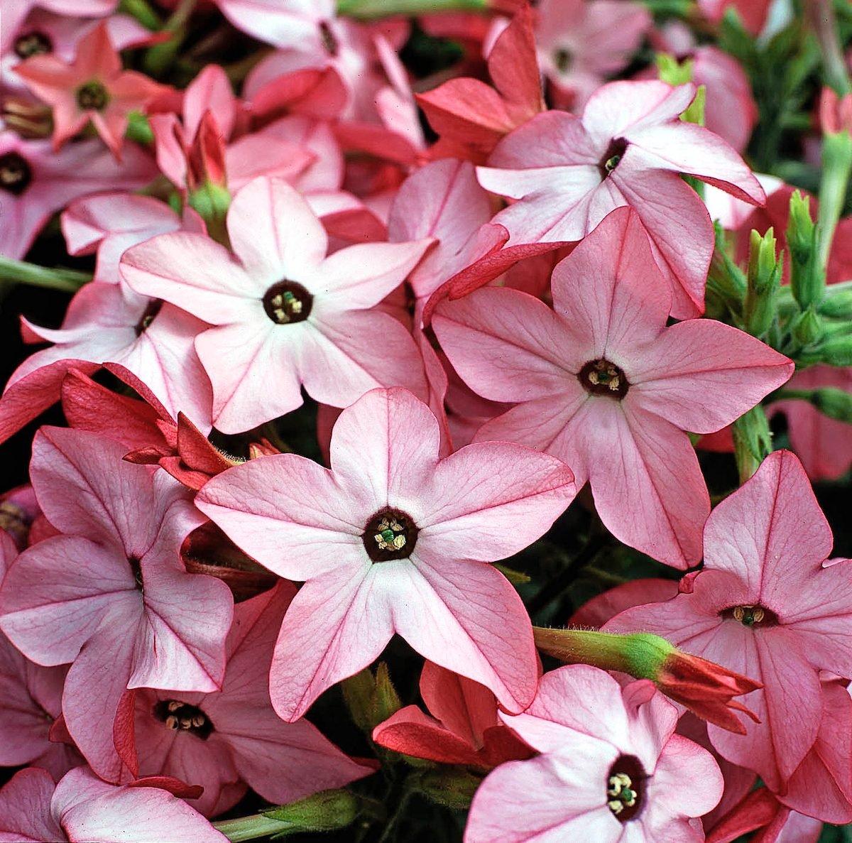 Flowering tobacco