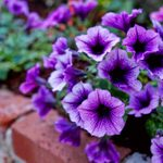 Top 10 Purple Flowers That Attract Hummingbirds