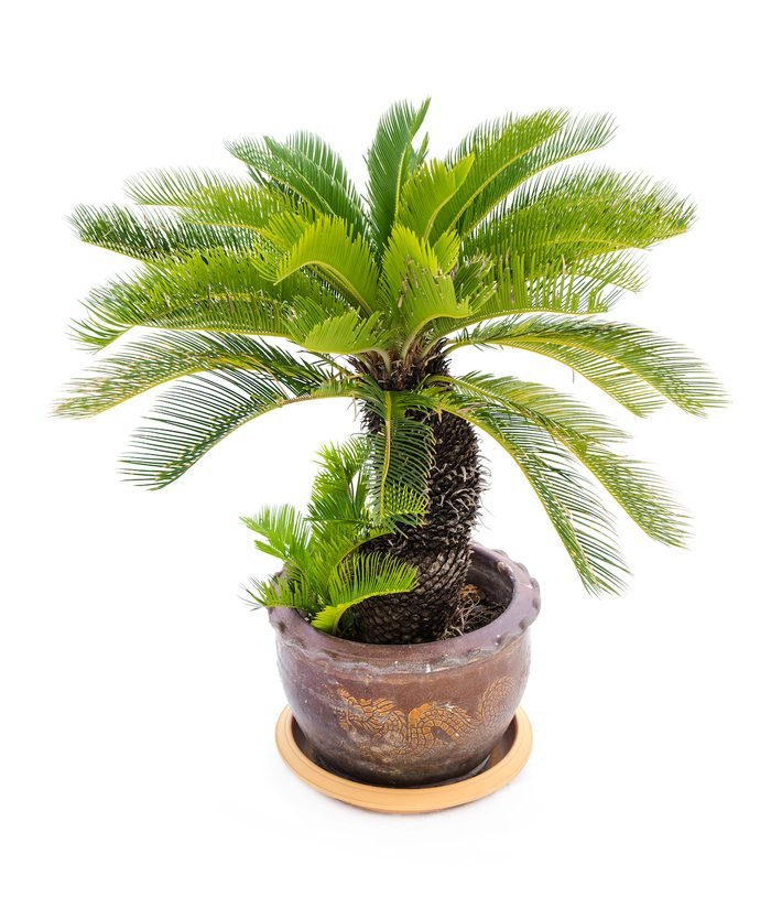 A potted sago palm in a container with a dragon design.
