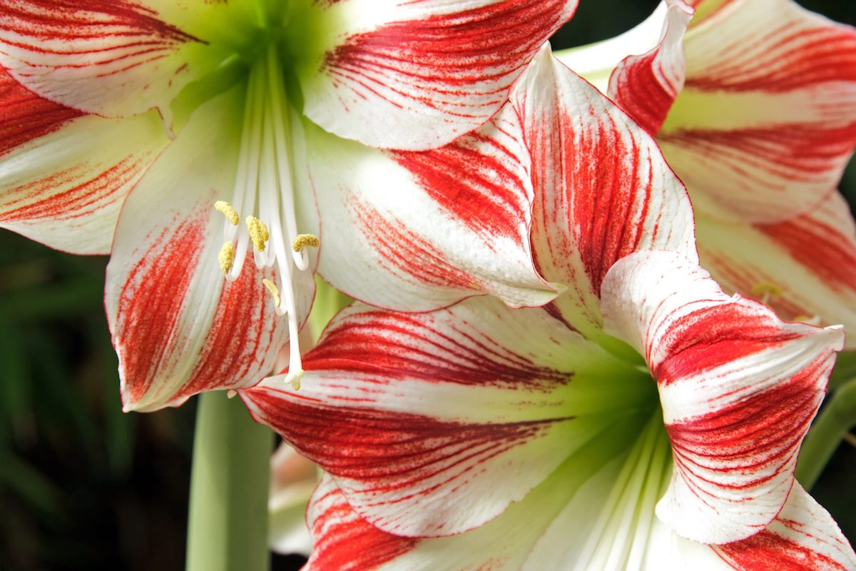Close-up of a red and white amaryllis.
