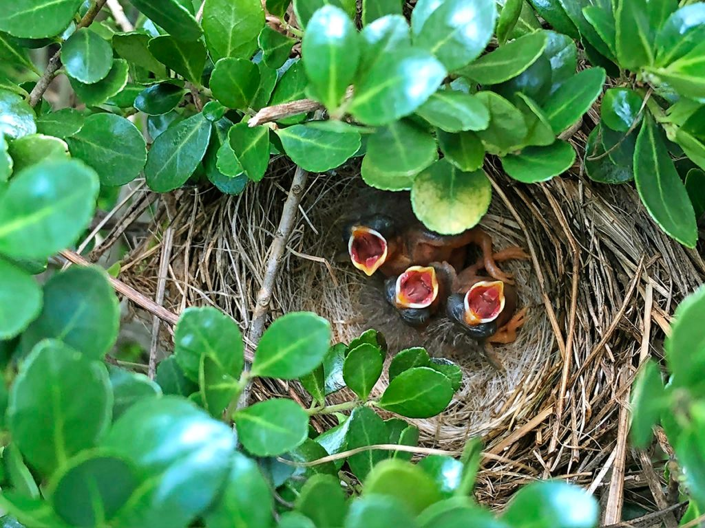 Hatchling robins in a nest