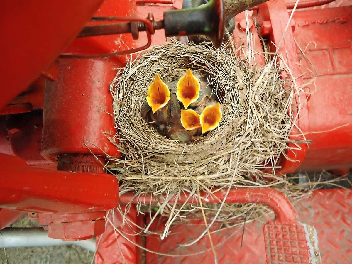American robin nest with baby birds