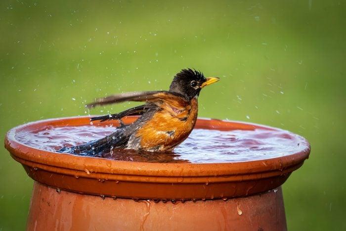 Robin splashes in a birdbath