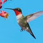 7 Facts About Ruby-Throated Hummingbirds You Should Know