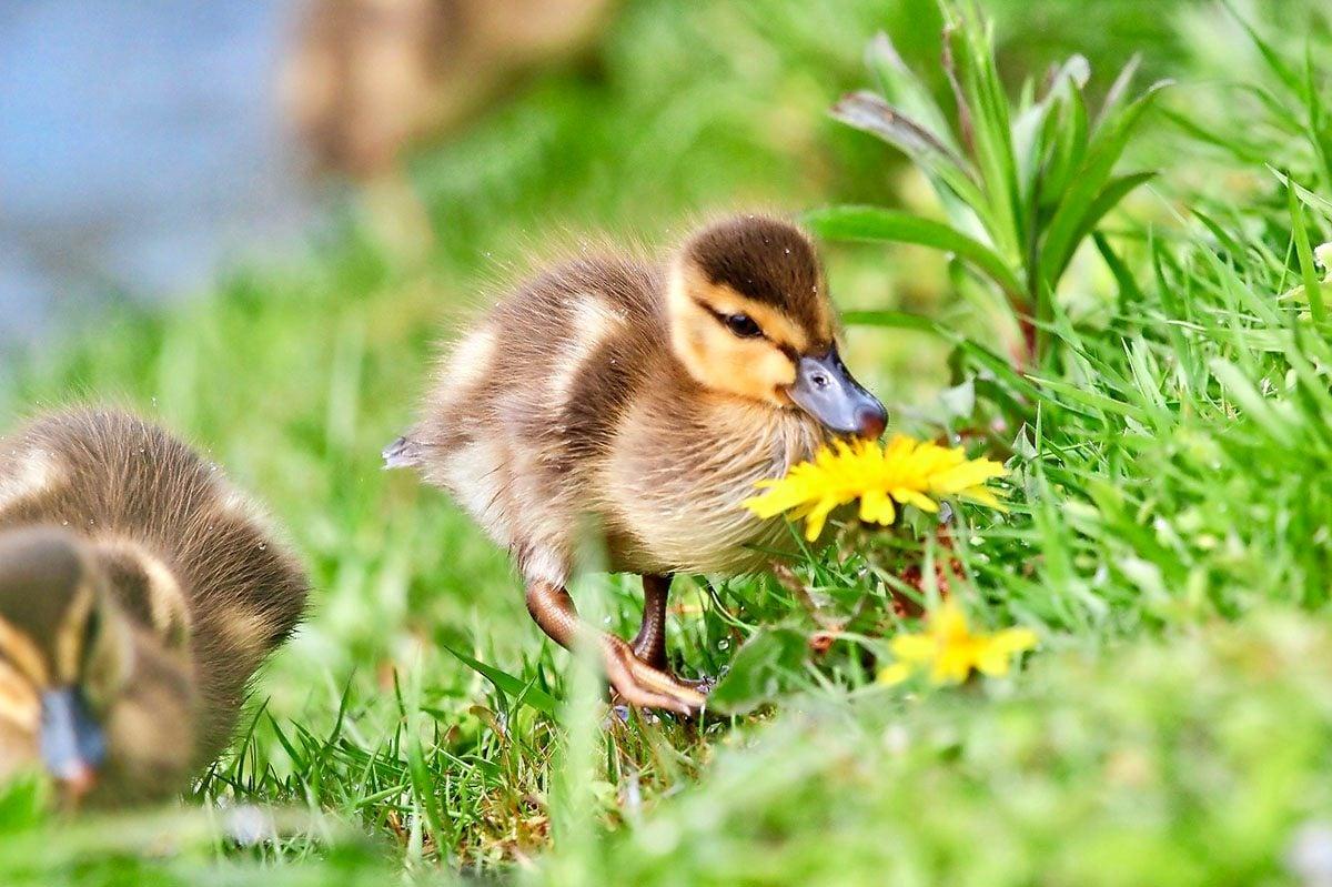 Young mallard ducks