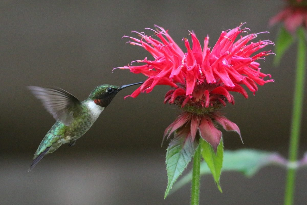 Bee balm and hummingbird