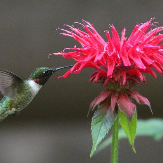 what flowers do hummingbirds like, Bee balm and hummingbird
