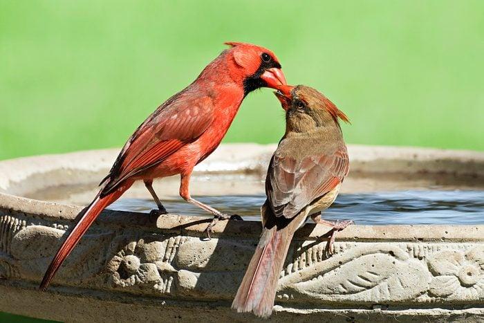 Cardinals on a birdbath
