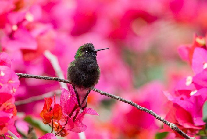Black-bellied hummingbird in Costa Rica
