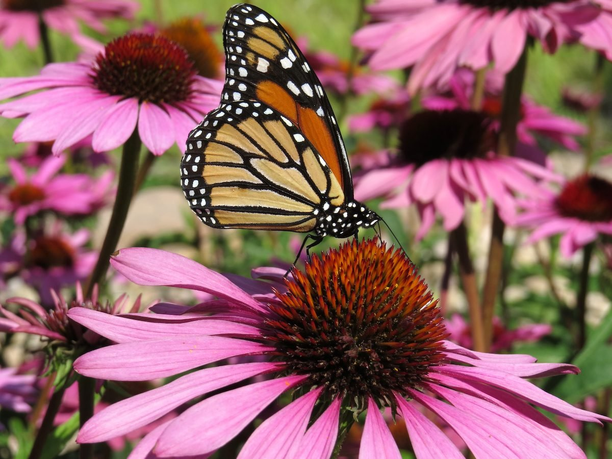 Coneflowers and butterfly