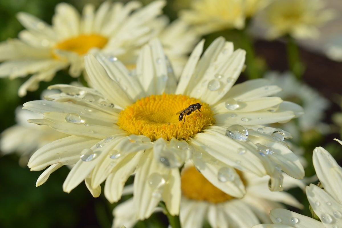 Daisy flowers with raindrops