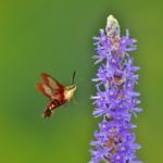 5 Interesting Facts About Hummingbird Moths