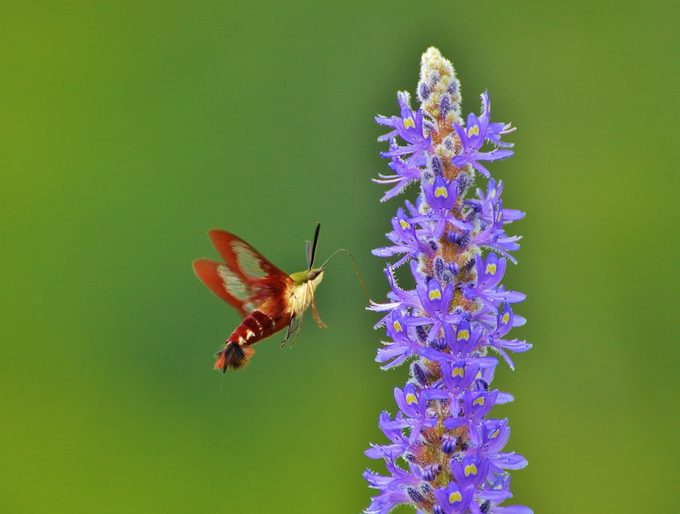 Hummingbird moth sips nectar from a purple flower.