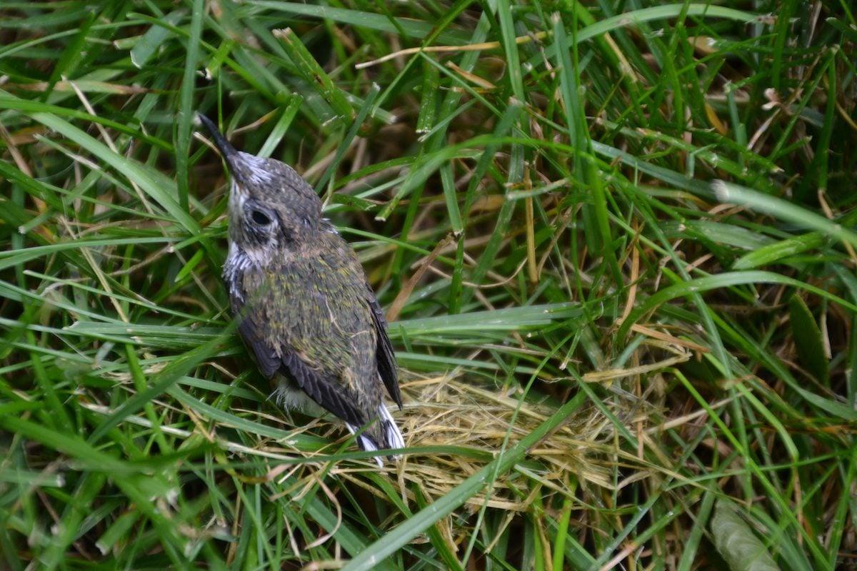 Baby ruby-throated hummingbird
