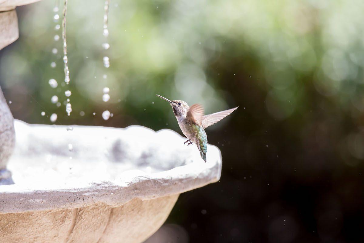 Hummingbird flies near a birdbath