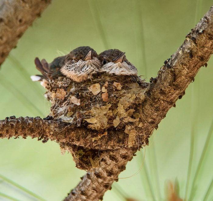Hummingbird nest with chicks