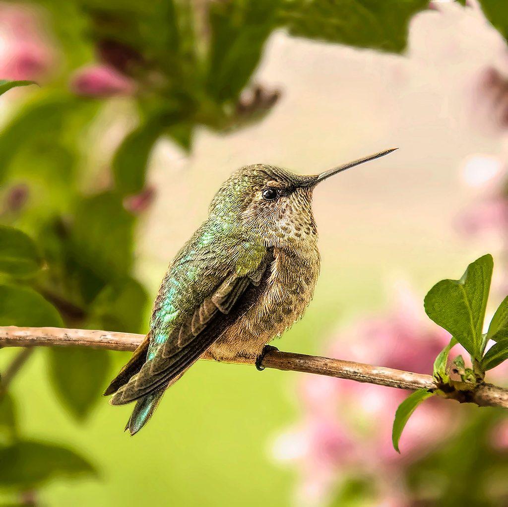 Hummingbird rests inside flowering shrub