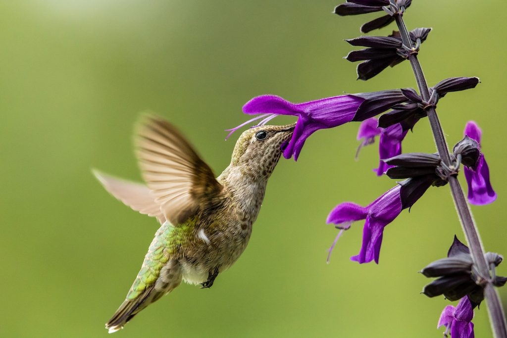 Hummingbird drinks from purple flowers