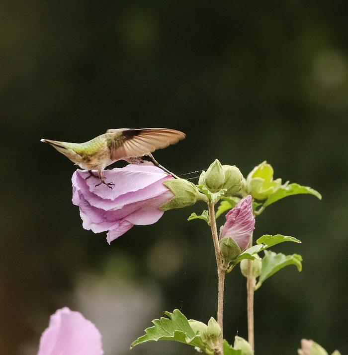 Hummingbird flies near rose of Sharon shrub