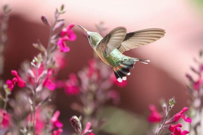 Hummingbird sips nectar from salvia