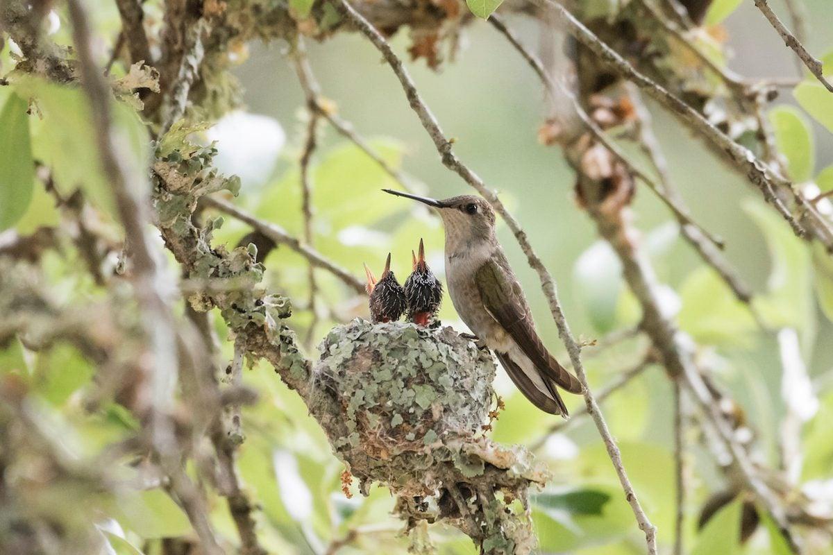 Hummingbird chicks in nest