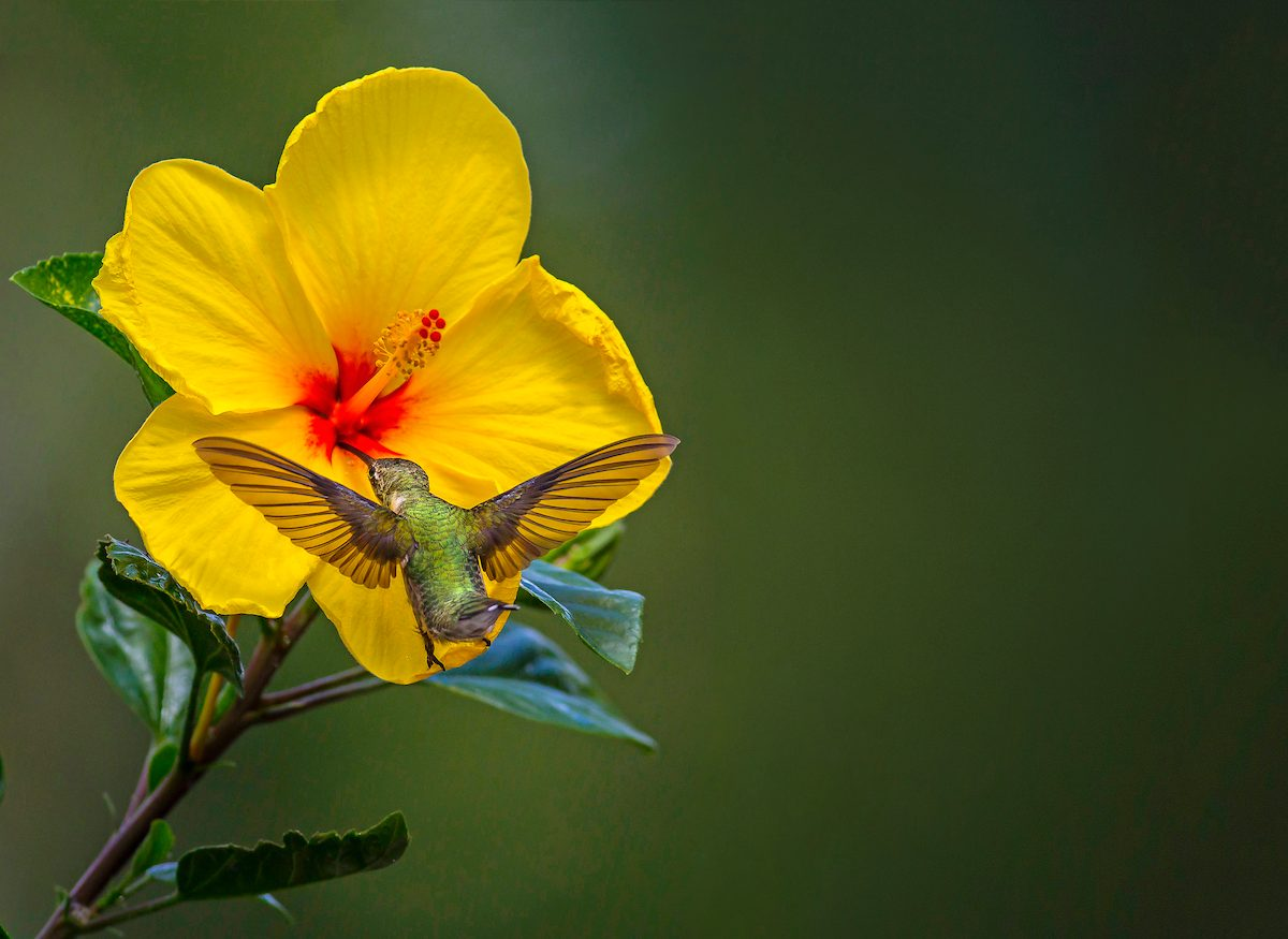 Ruby-throated hummingbird sips nectar from hibiscus flower