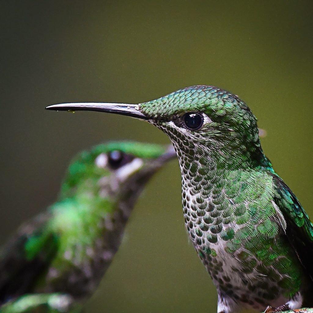 Hummingbirds in Costa Rica