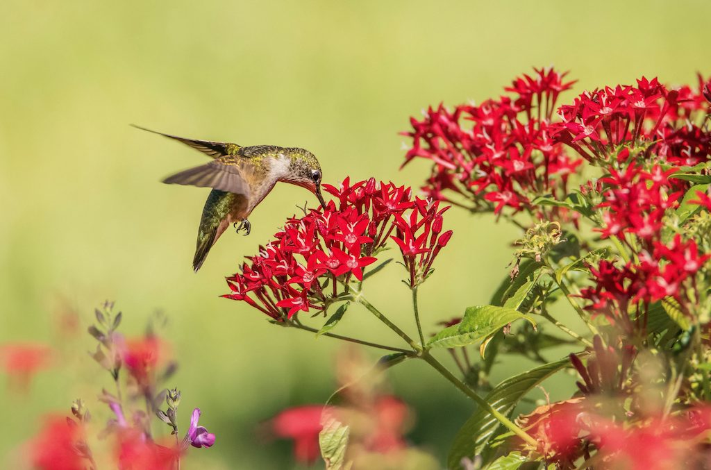Hummingbird with red flowers