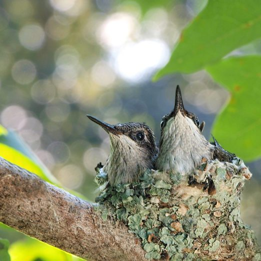 10 Adorable Pictures of Baby Hummingbirds