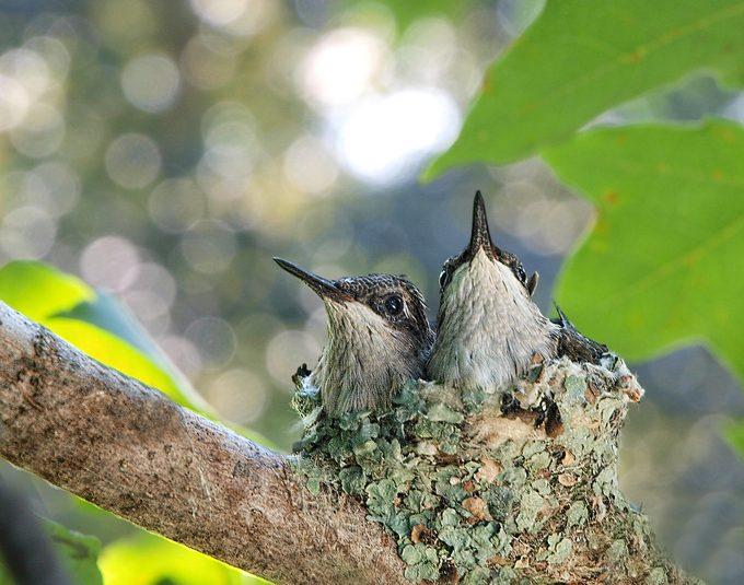 Hummingbird nest, do hummingbirds eat bugs