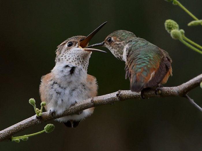 Hummingbird feeding chick