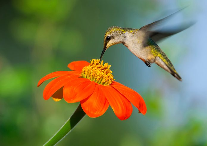 Mexican sunflower and hummingbird