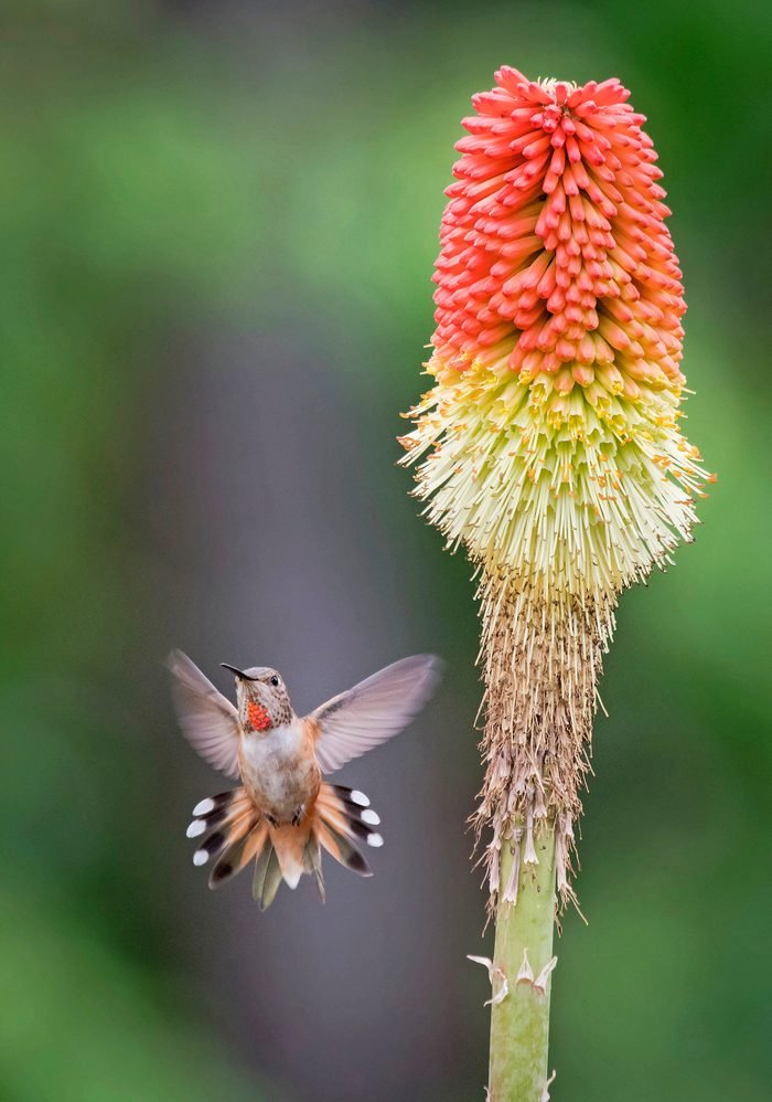 Red hot poker flower with hummingbird