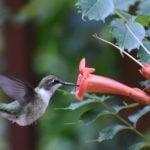 Ask the Experts: Hummingbird Behavior Explained