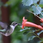 Ask the Experts: Hummingbird Behavior Explained