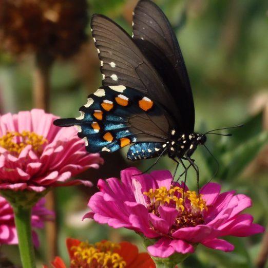 7 Summer Nectar Flowers That Attract Butterflies