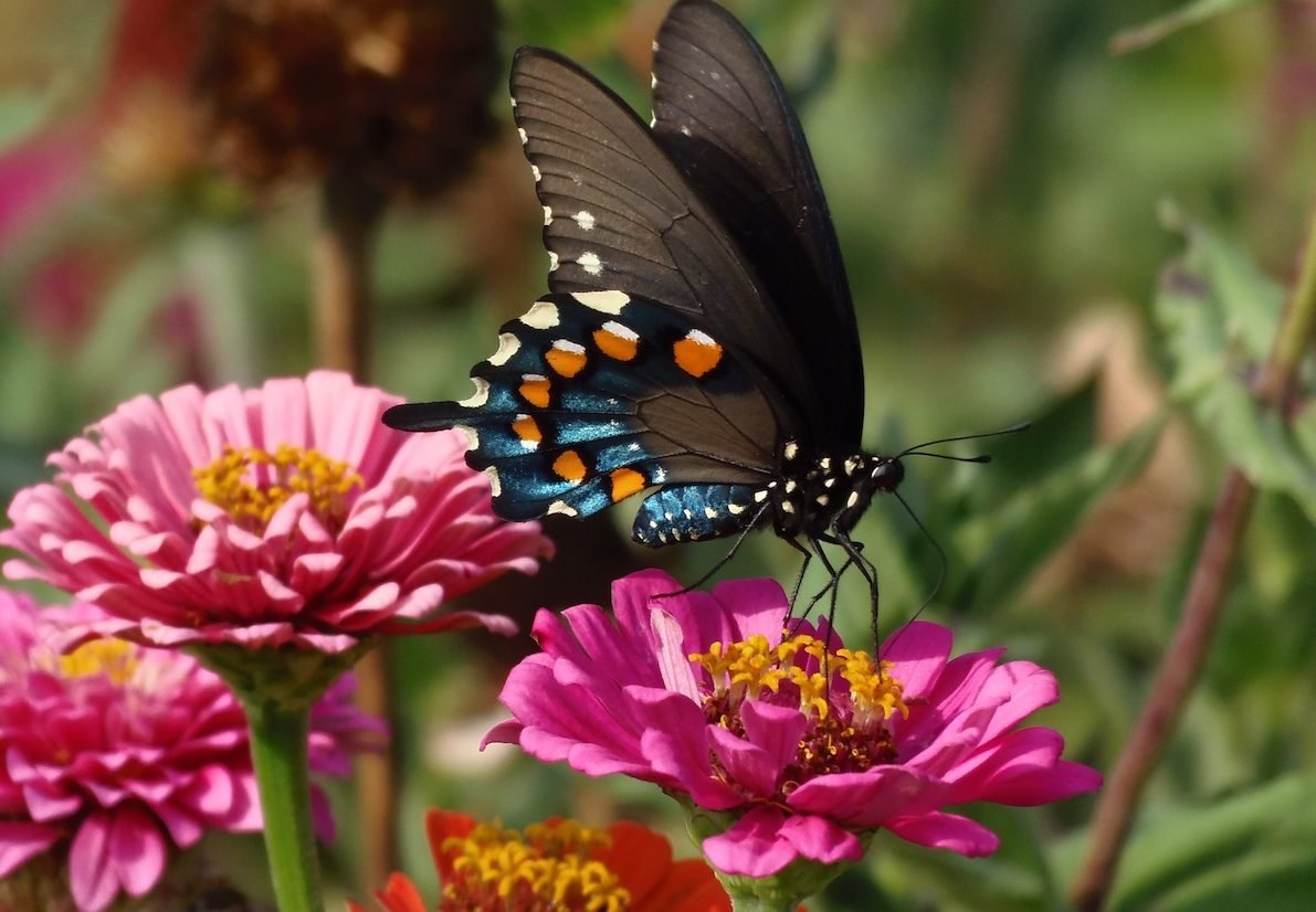 Zinnia and butterfly