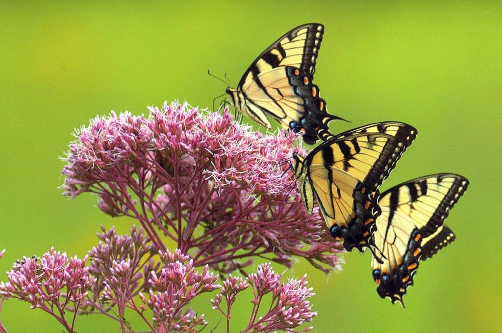 joe pye weed and swallowtail butterflies