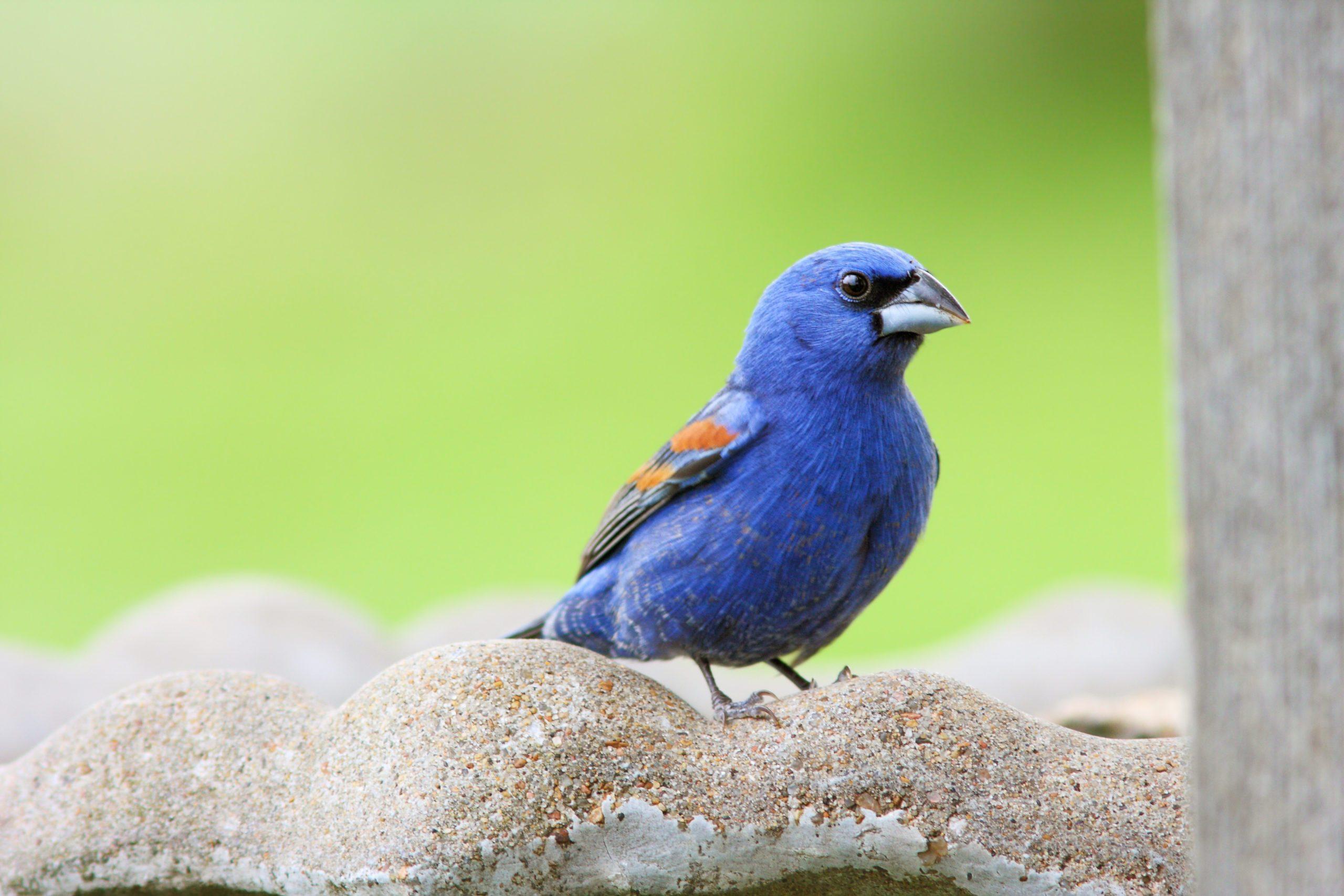 A blue grosbeak sits on a birdbath.